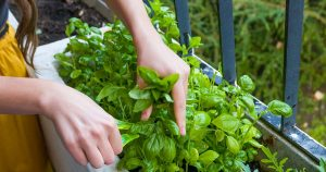 Woman cuts fresh herbs for a dinner